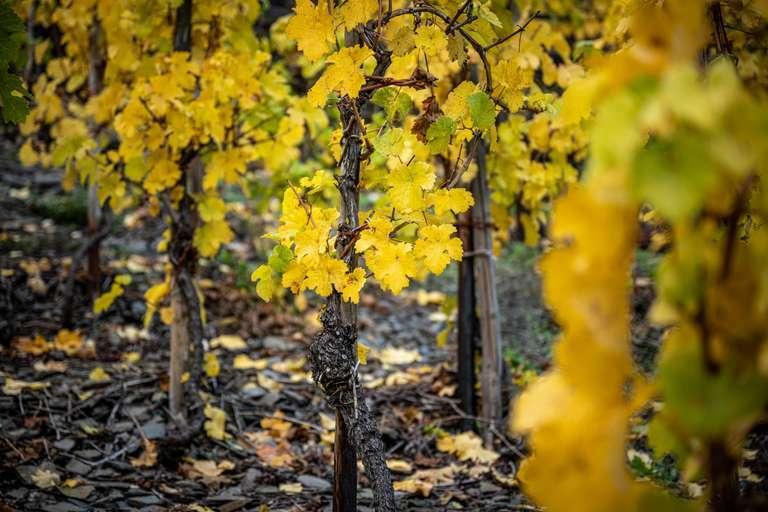 Weinlaub IV