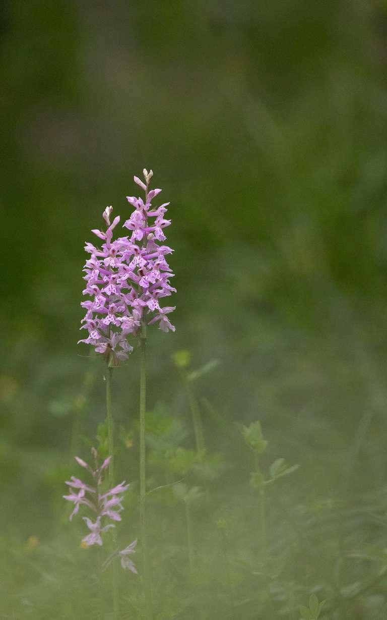 Orchidee in der Frühlingswiese