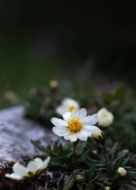 Alpine Frühlingsblüten
