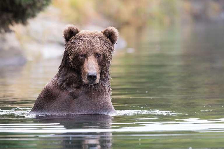 Kodiak Grizzly beim Lachsfischen