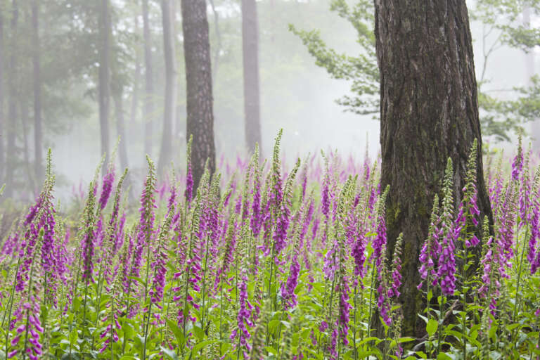 Fingerhut im nebligen Wald