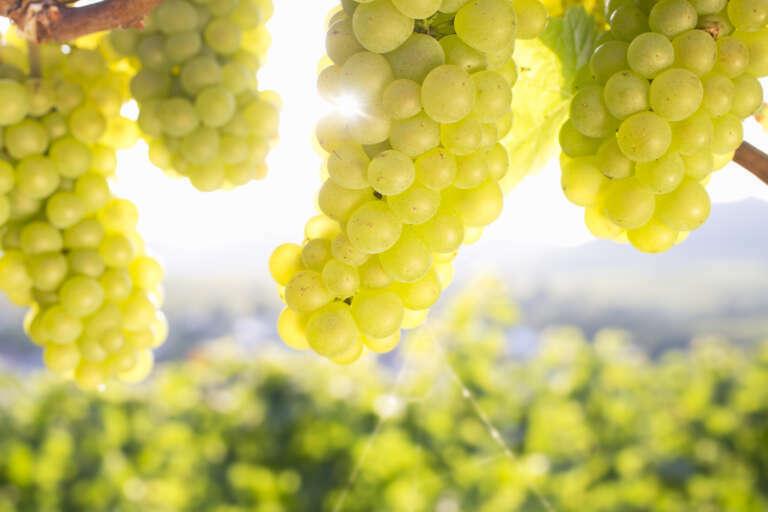 Weißweintrauben auf der kleinen Kalmit im Gegenlicht