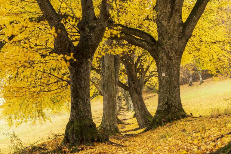 Lindenallee im Herbst