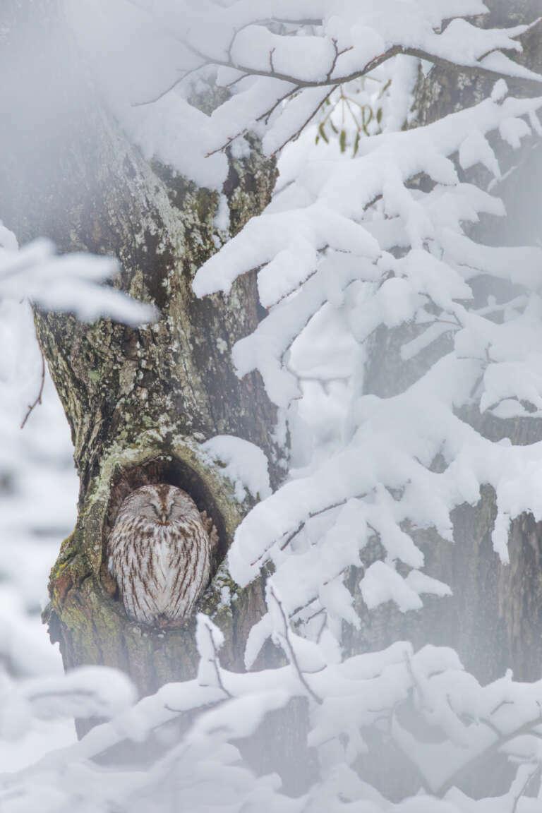 Waldkauz