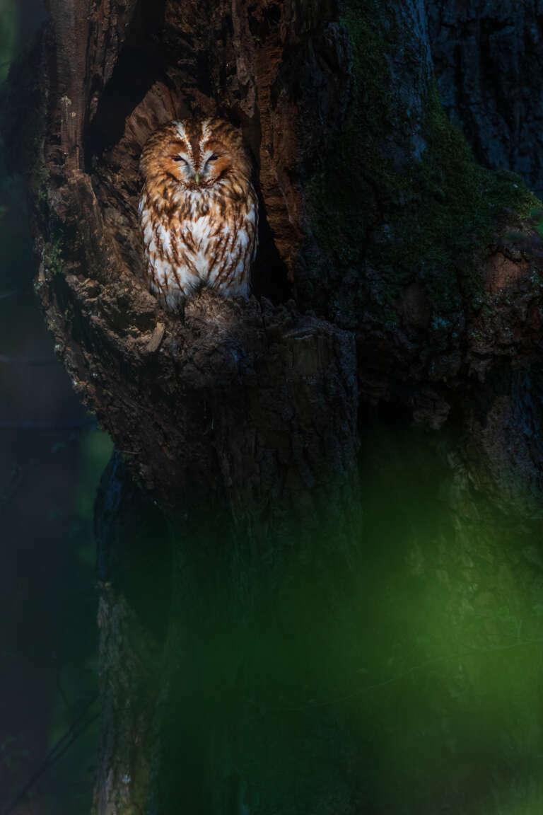 Waldkauz im Abendlicht
