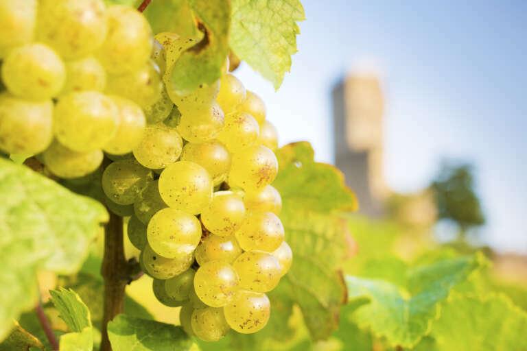Weißweintrauben vor Wachtenburg im Hintergrund